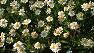 chamomile-in-bloom